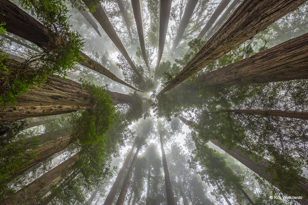 "Today's Photo Of The Day is ""Ancient Redwoods"" by Kris Walkowski. Location: Redwood National Park, California."