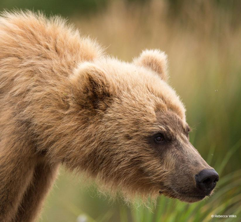 Today's Photo Of The Day is Blonde Bear by Rebecca Wilks. Location: Katmai National Park, Alaska.