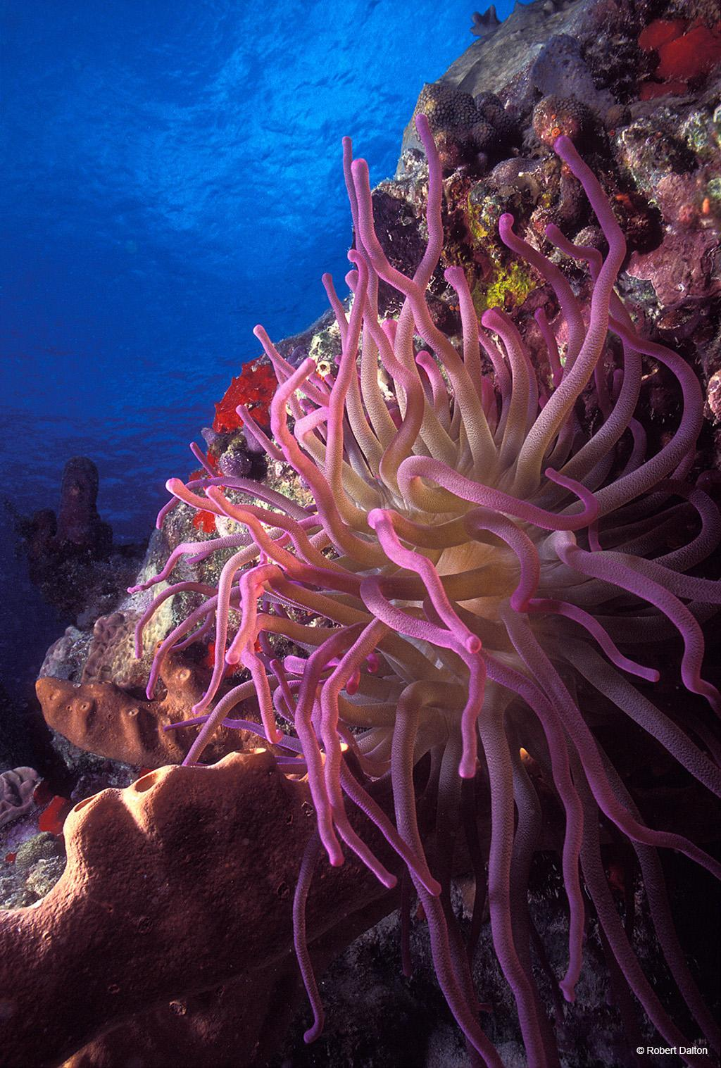 """Today's Photo Of The Day is """"Pink Anemone"""" by Robert Dalton. Location: Lighthouse Reef, Belize"""