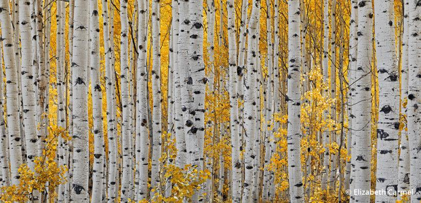 Medium Format Landscape Photography - Aspen Glow
