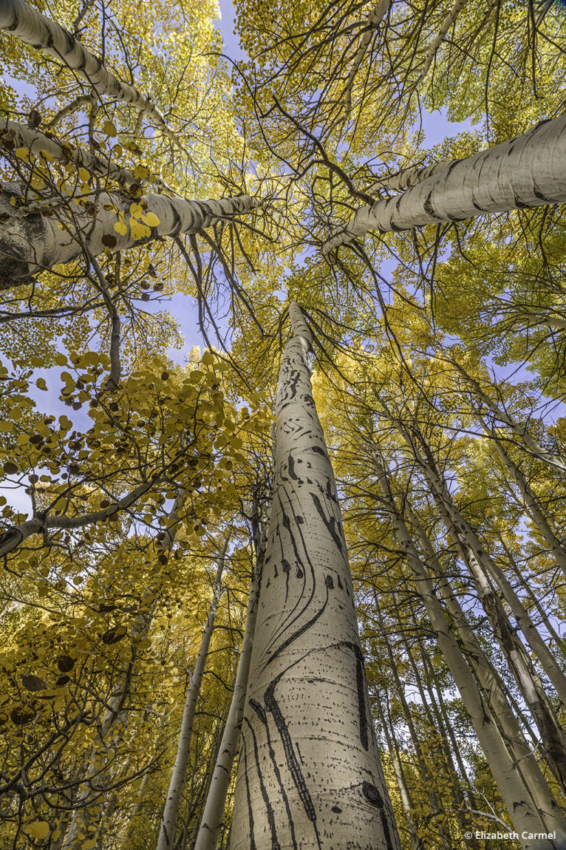 Medium Format Landscape - Bear Claw Aspen