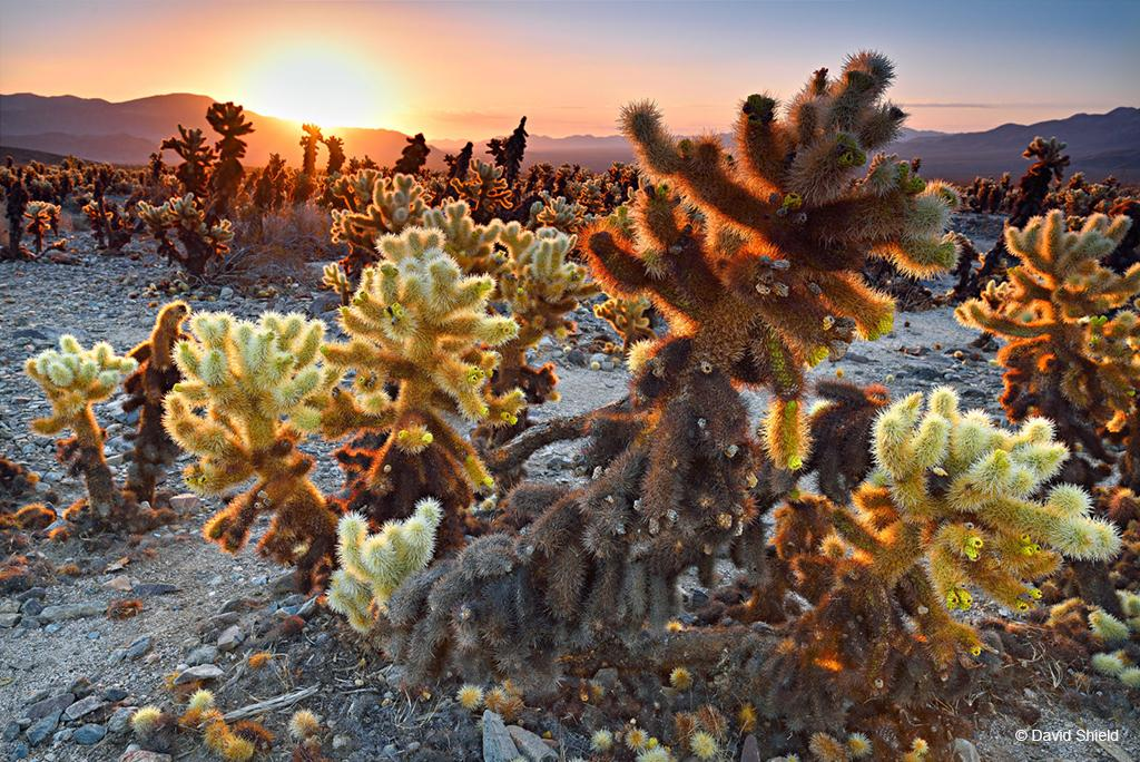 "Today's Photo Of The Day is ""Cholla Sunrise"" by David Shield. Location: Joshua Tree National Park, California."