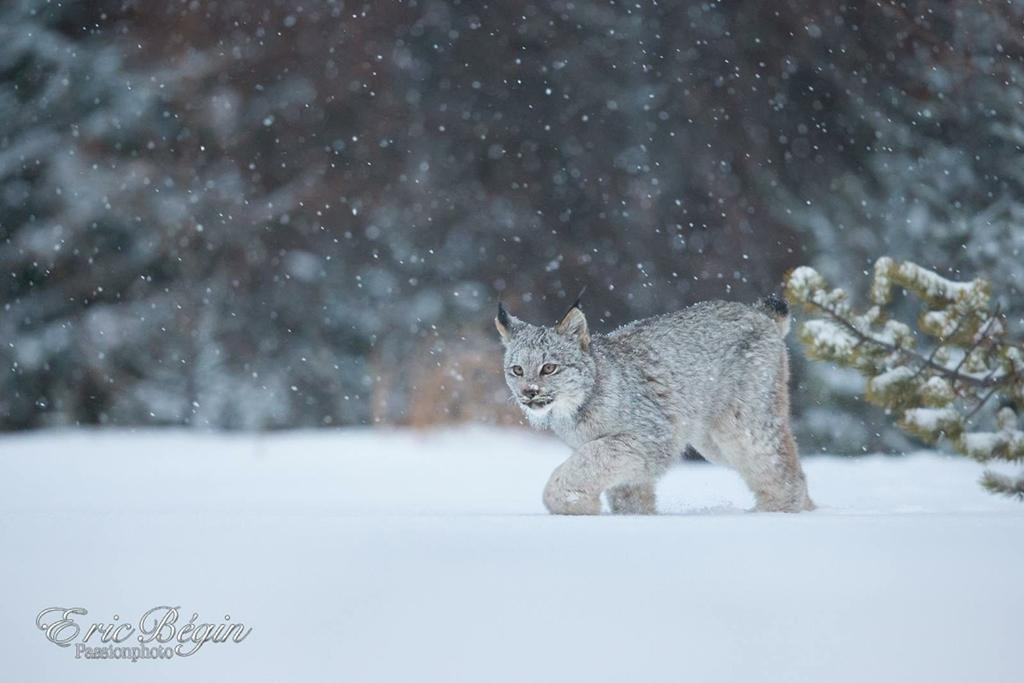 "Today's Photo Of The Day is ""Lynx du Canada"" by Eric Begin. Location: Quebec, Canada."