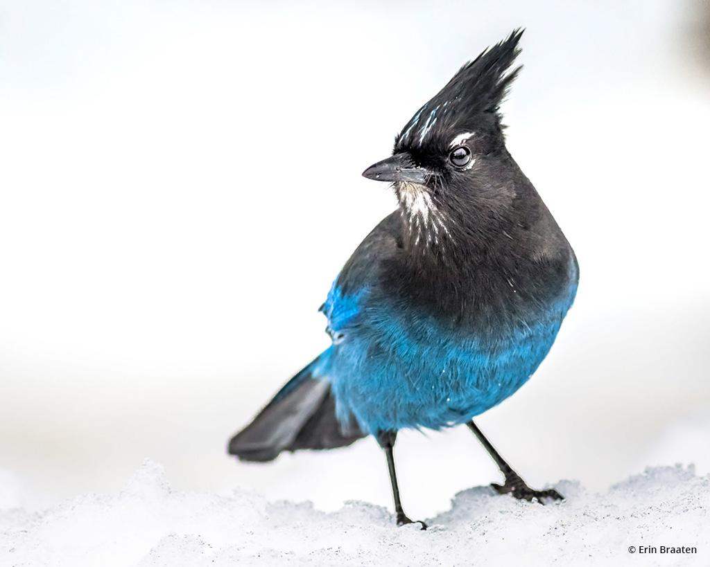 Today's Photo Of The Day is Stellar's Jay in Snow by Erin Braaten. Location: Montana.