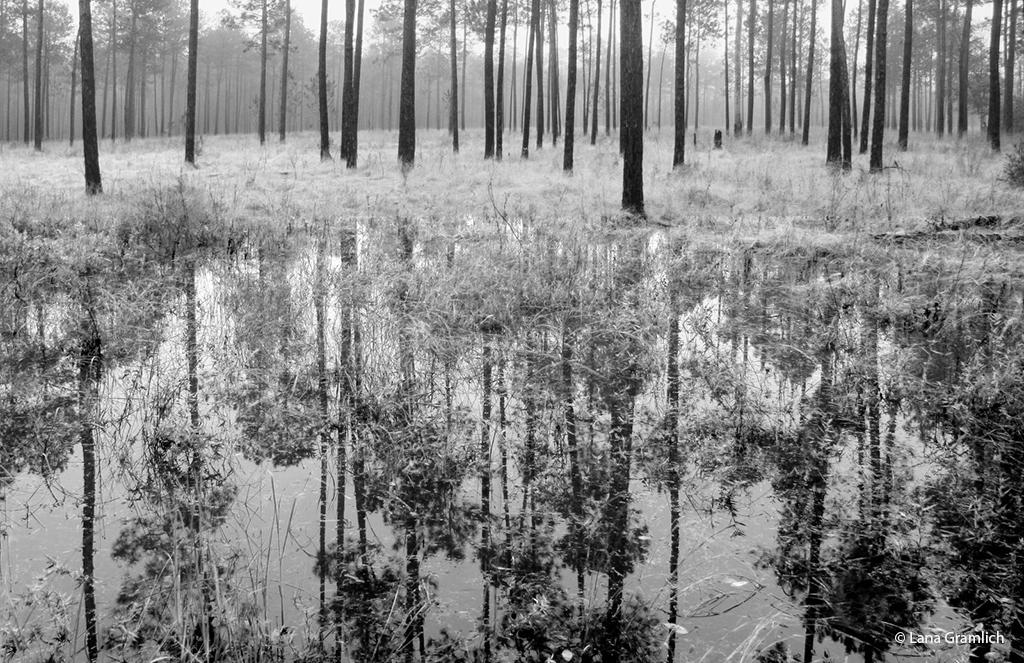 Today's Photo Of The Day is Foggy Flooded Savanna by Lana Gramlich. Location: Abita Creek Flatwoods Preserve, Louisiana.
