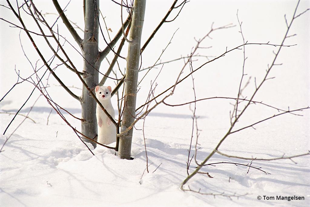 Ermine and aspens by Tom Mangelsen