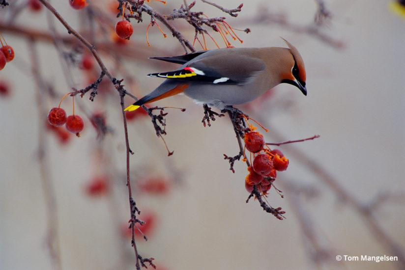 The Harvest, Bohemian Waxwing by Tom Mangelsen