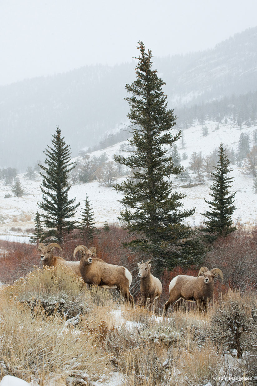 Wind River Bighorns by Tom Mangelsen