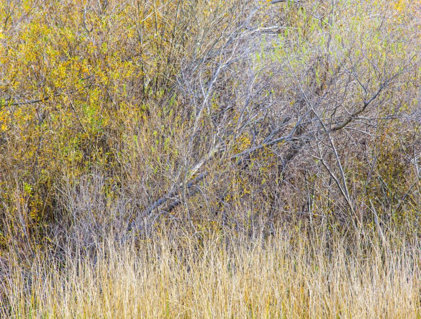 Willows and Grass