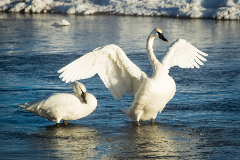 Swan readying for take off