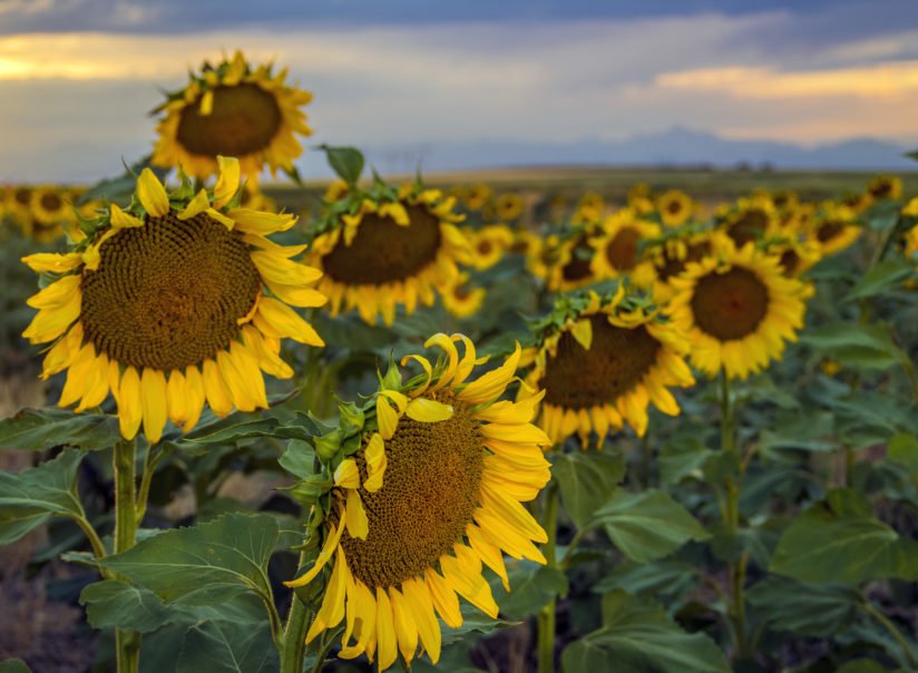 Sunflowers – shards of a sunny day….
