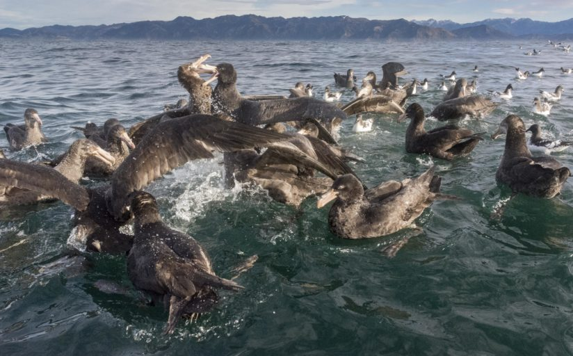 Giant petrels – vultures of the sea