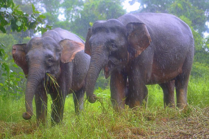 Pygmy elephants in Borneo