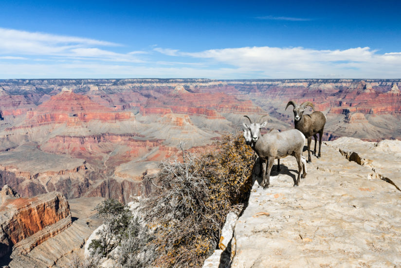 Five Bighorn Sheep