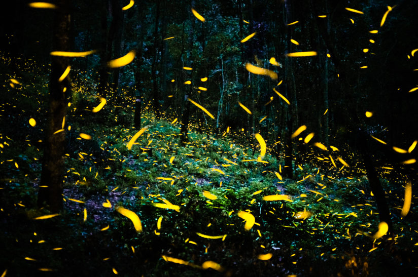The dance of the fireflies