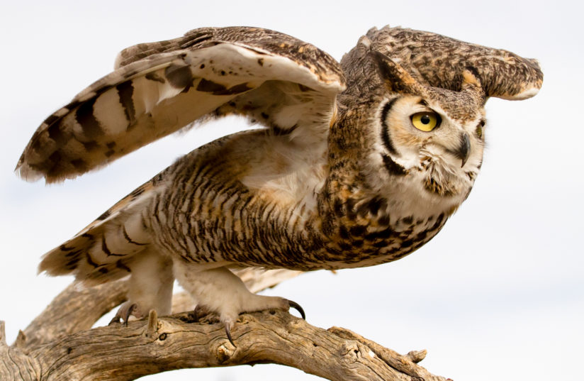 Great Horned Owl Takeoff