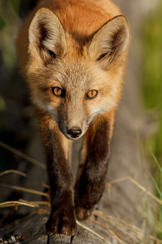 Red Fox — Here's Looking at You