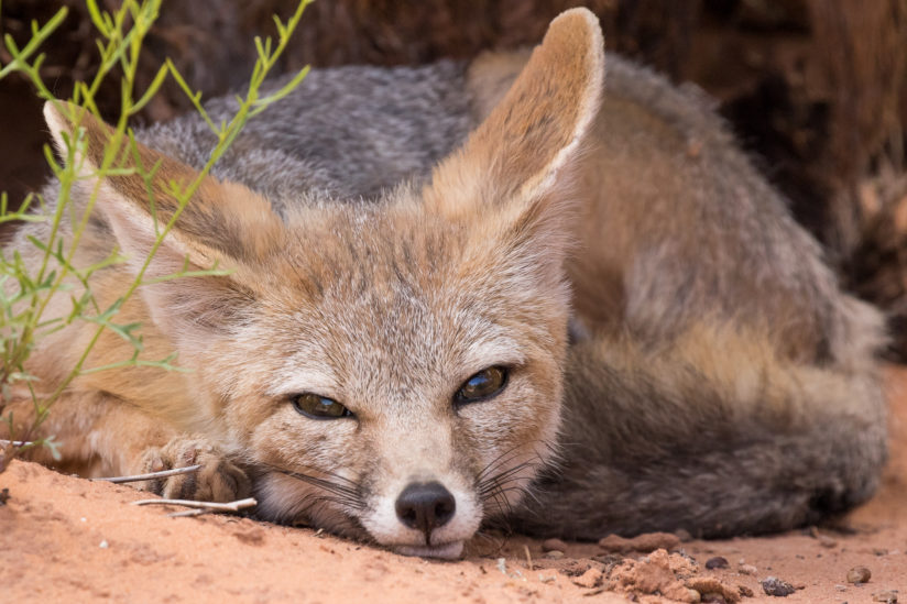 Kit Fox Resting after a Good Meal