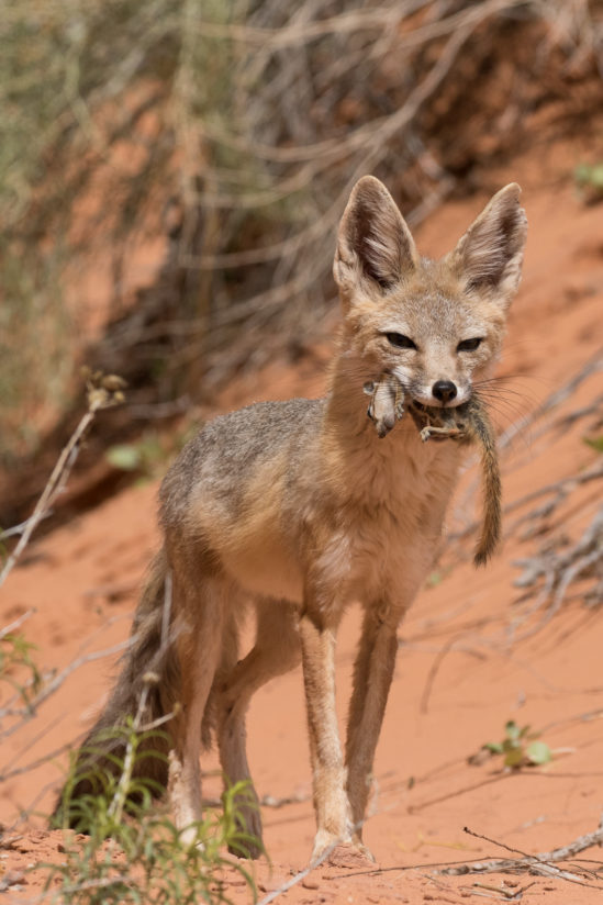 Kit Fox with Ground Squirrel