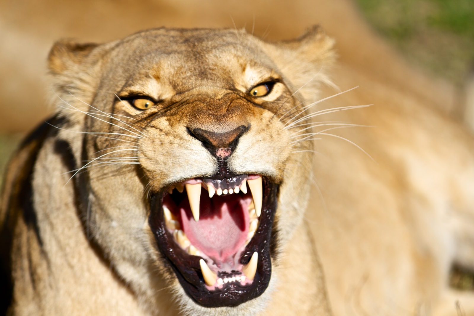 angry lioness - photo #5