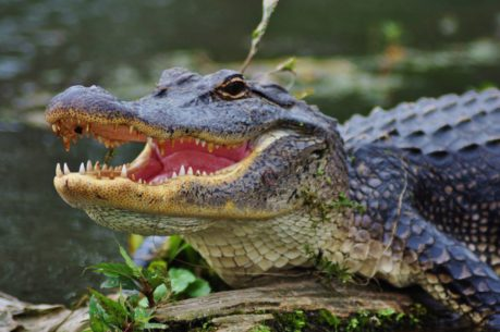 Alligator with a Fish Hook Sticking out the Side of it's Face